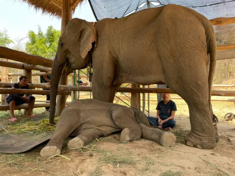 , สัตวแพทย์เร่งช่วยช้างกินพาราควอต ถึงลำปางแล้ว 3 เชือก