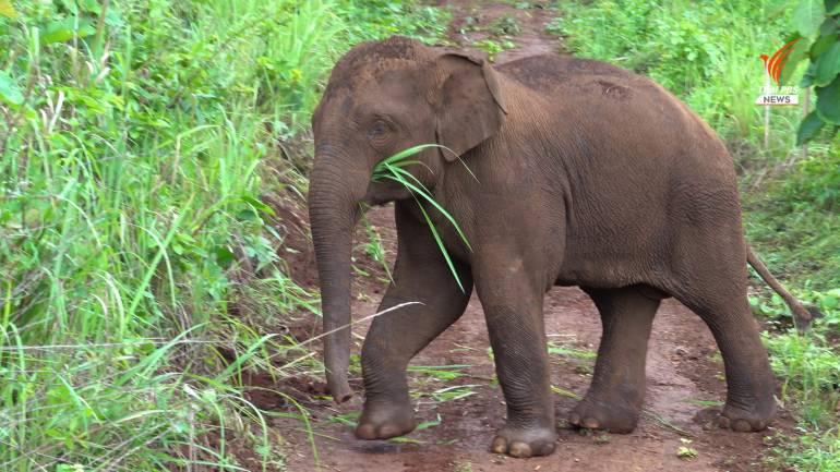 เจ้าช้างน้อยอายุราว 4-5 ปี พบเมื่อ ม.ค.ปี 63 ในพื้นที่ป่าทองผาภูมิ นิสัยขี้เล่น