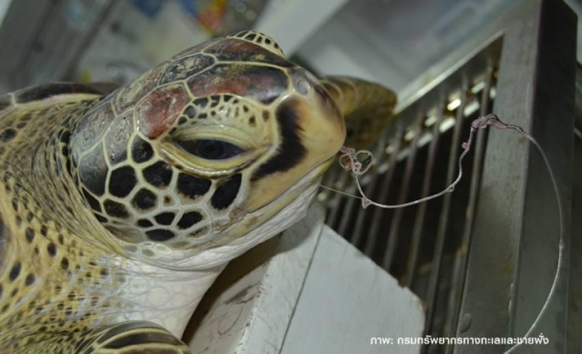 ทช.สรุปสัตว์ทะเลหายากตายคงที่กว่า 400 ตัวต่อปี