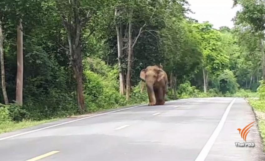 เตรียมย้ายช้างป่า 2 ตัว พ้นป่าห้วยสัตว์ใหญ่ จ.ประจวบคีรีขันธ์