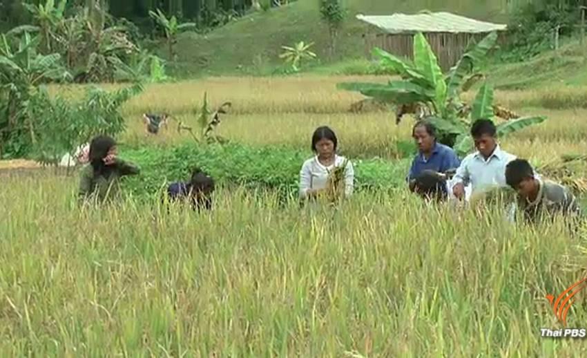 ชาวมลาบรีห้วยลู่ลงแขกเกี่ยวข้าว ลดค่าจ้างแรงงาน