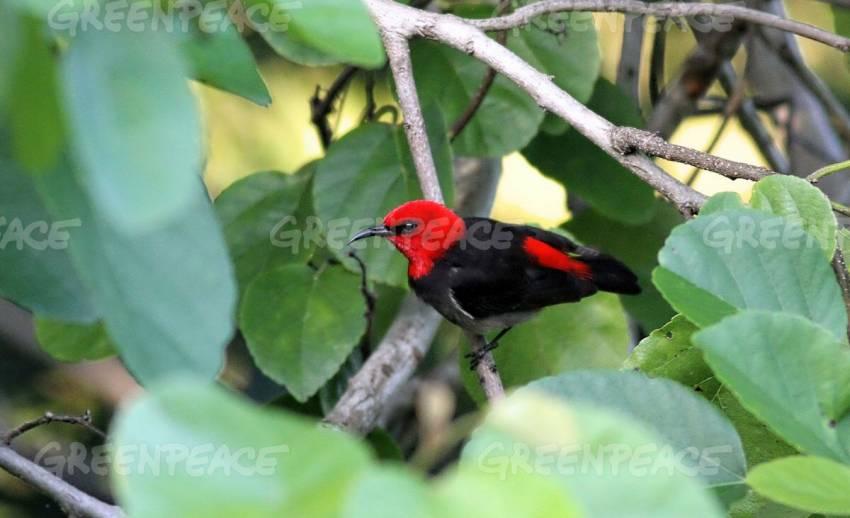 """พบ """"นกมิซโซเมลา""""สายพันธุ์ใหม่บนเกาะโรเต อินโดนีเซีย"""