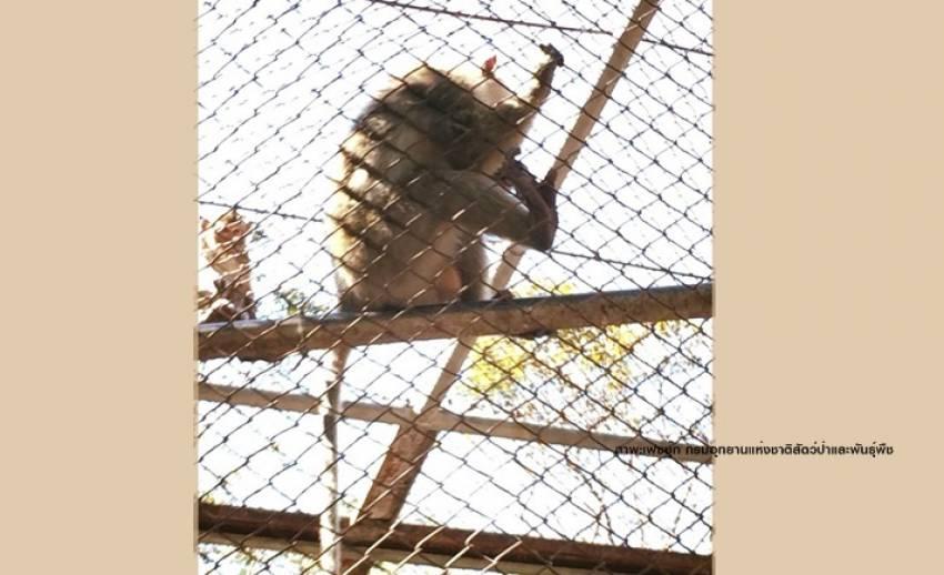 """เจอ """"ลิงแสมหางยาว"""" 1 ตัวถูกปล่อยทิ้งบนเขาใหญ่"""