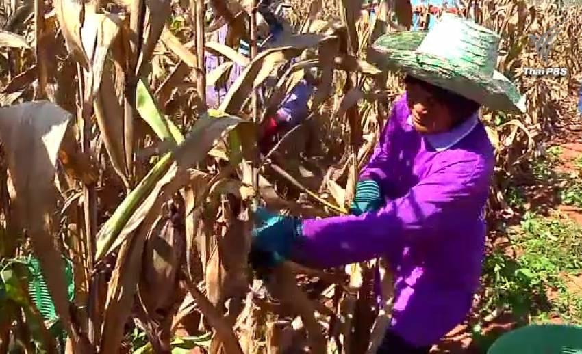 สศก.เผยรายได้เกษตรกรเดือน ส.ค.ลดลงร้อยละ 2.14