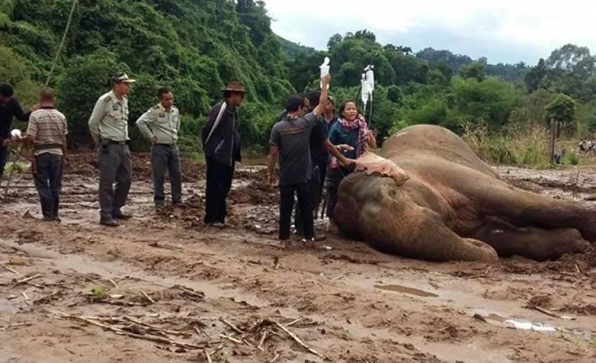 """เตรียมดามเฝือก""""ช้างป่า""""ตกคลอง-ขาหลังบาดเจ็บก่อนย้ายไปรพ.ช้าง"""