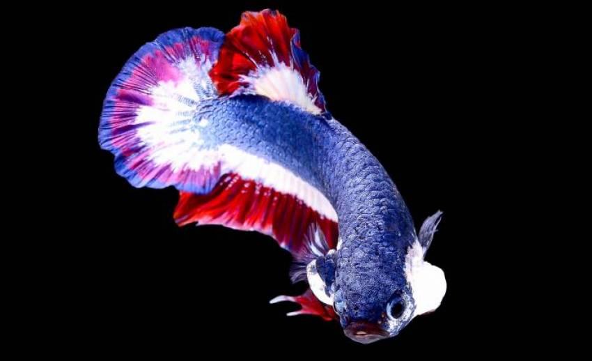 """กรมประมงดัน """"ปลากัด"""" เป็นสัตว์น้ำประจำชาติ ตั้งเป้าสร้างรายได้ปีละ 3 พันล้าน"""