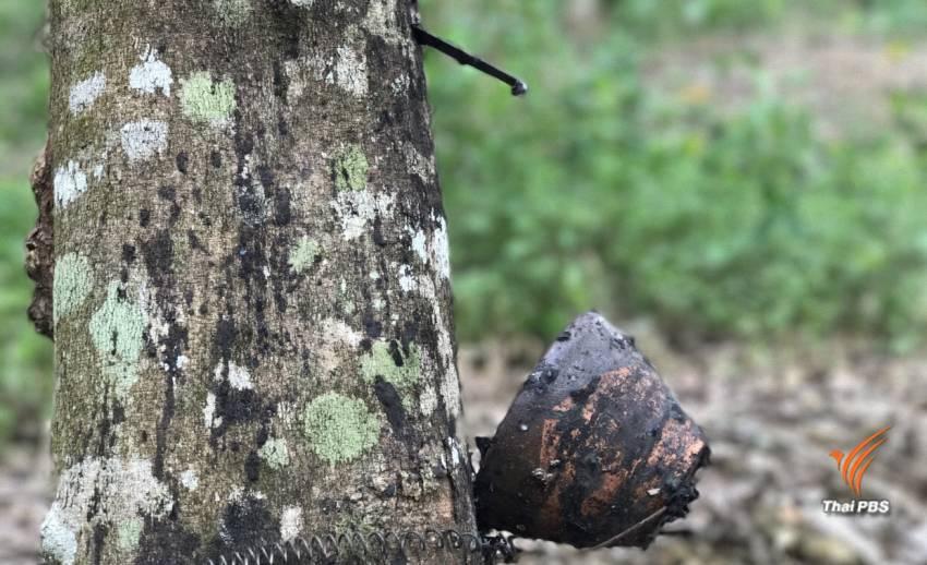 """คุมเข้ม """"กรีดน้ำยาง"""" ของกลุ่มนายทุนรุกป่า 1.32 ล้านไร่"""