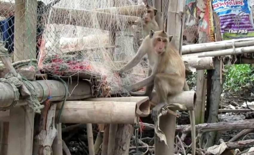 ฝูงลิงป่าบุกหมู่บ้านหาอาหาร จ.สมุทรสงคราม ชาวบ้านร้องรัฐช่วยเหลือ