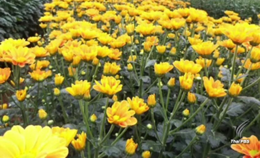 """""""โครงการหลวง """"คัดดอกไม้สีเหลือง 3 สายพันธุ์ ประดับพระเมรุมาศ"""