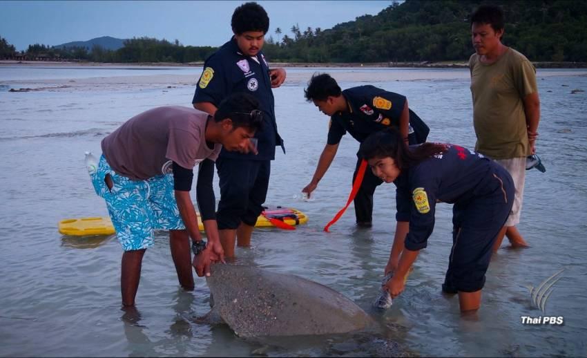 เจอซากเต่าทะเลเกยตื้นตาย 1 ตัวที่เกาะสมุย