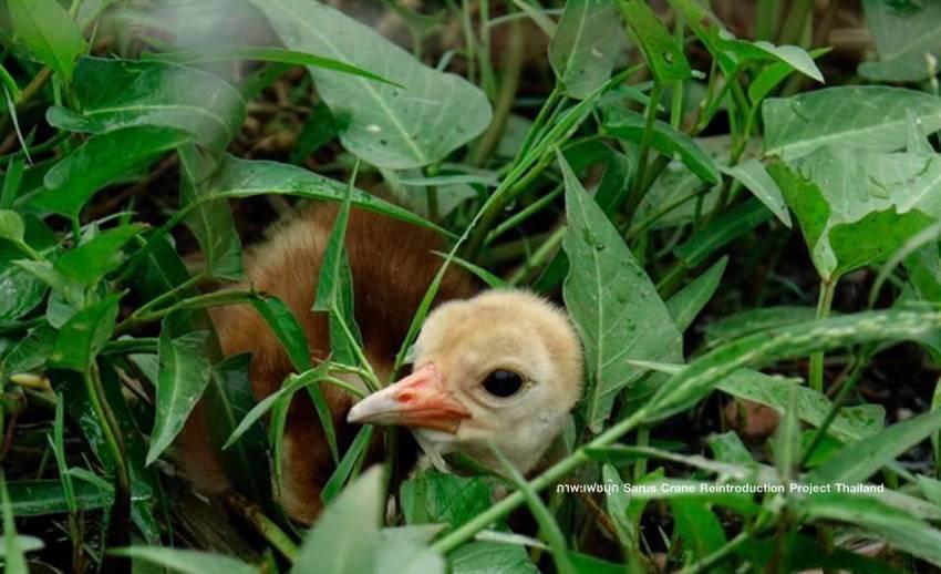 """เผยโฉม """"ลูกนกกระเรียนพันธุ์ไทย"""" เกิดเพิ่มในธรรมชาติอีก 4 ตัว"""