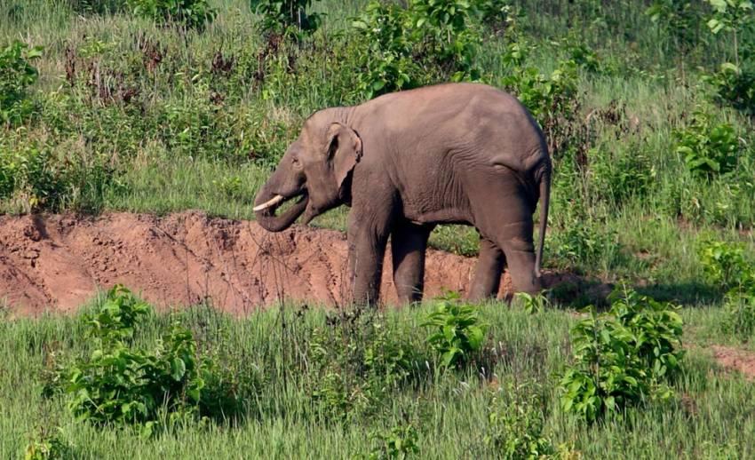 """""""ช้างป่า""""เขาใหญ่รุกที่ทำกินชาวบ้าน-ต้นเหตุวัชพืชต่างถิ่นคลุมทุ่งหญ้า"""