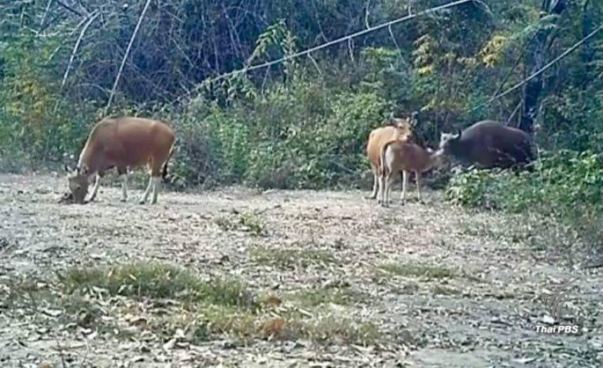 """""""ฟ้าใหม่""""ลูกวัวแดงตัวแรกของโลกคืนสู่ป่าสลักพระหลังสูญพันธุ์10 ปี"""