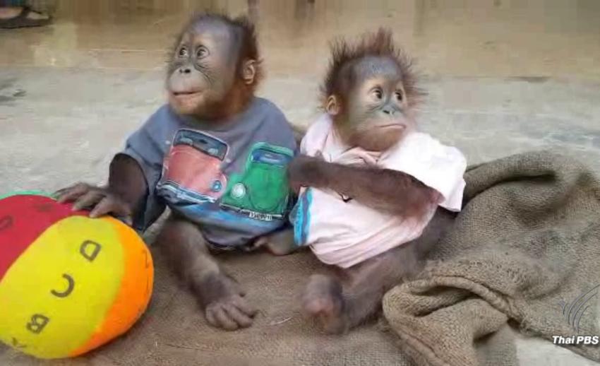 2 ลูกลิงอุรังอุตังสุขภาพดี-อุทยานเตรียมส่งกลับอินโดนีเซีย