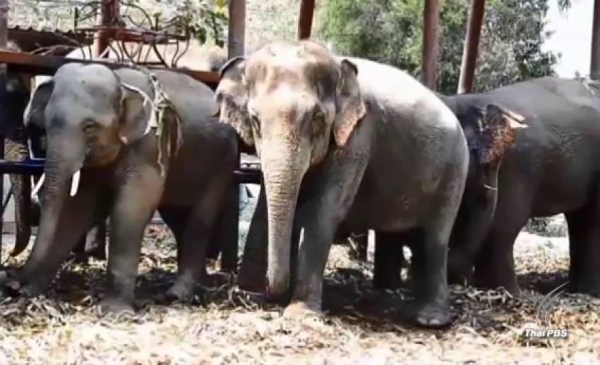 ผู้เลี้ยงช้างยุตินำช้างเข้ากรุง หลัง มท.รับปากส่งข้อร้องเรียนให้นายกฯ