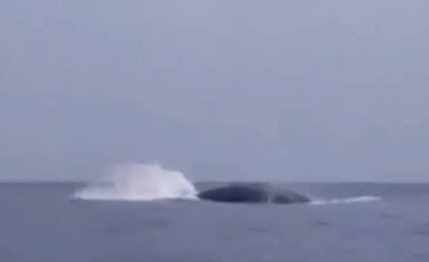 """พบ""""วาฬสีน้ำเงิน""""ในรอบ 4 ปีที่เกาะสิมิลัน พังงา"""