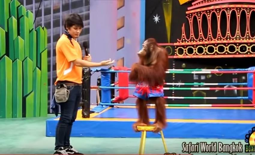 """แจงลิงอุรังอุตังชกมวย """"ซาฟารีเวิลด์"""" ไม่ทรมานสัตว์"""