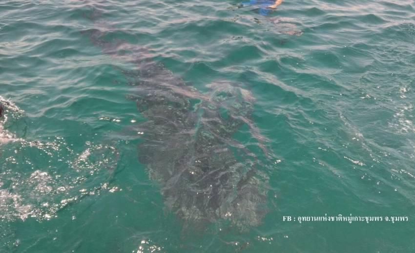 """""""ฉลามวาฬ"""" โผล่หมู่เกาะง่าม ว่ายน้ำเล่นใกล้ชิดนักท่องเที่ยว"""