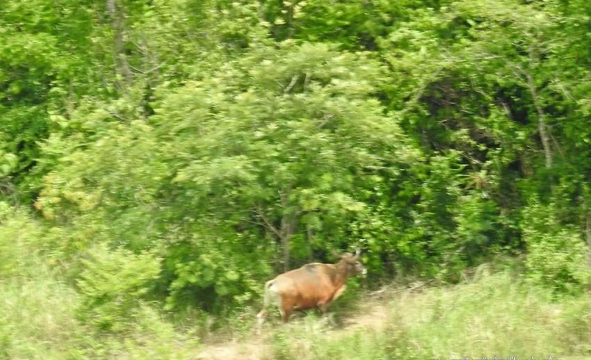 """เปิดภาพ """"วัวแดง""""หากินริมขอบป่าเขาอ่างฤาไน"""