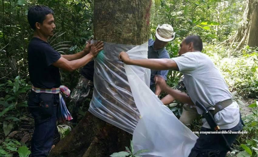 """""""บายพาสต้นไม้""""ป่าเขาบรรทัดถูกลักลอบกานเกือบ 200 ต้น"""