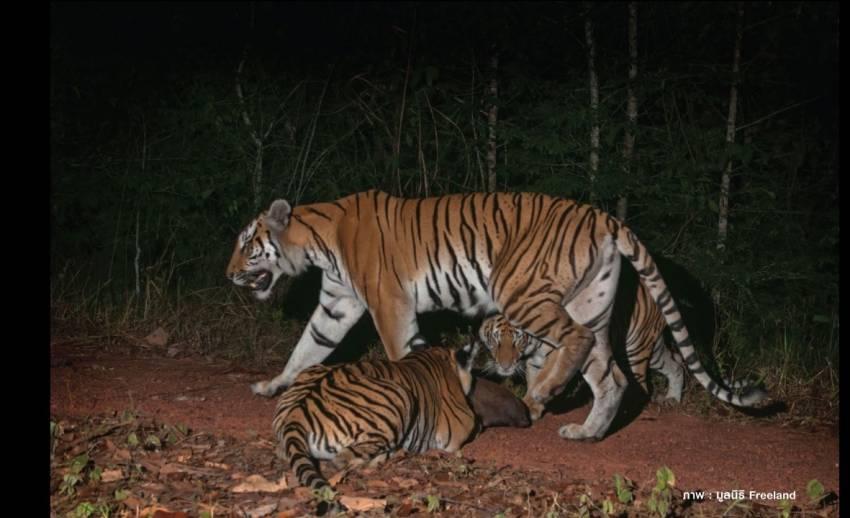 ข่าวดีในรอบ 15 ปี พบเสือโคร่งในกลุ่มป่ามรดกโลกดงพญาเย็น-เขาใหญ่