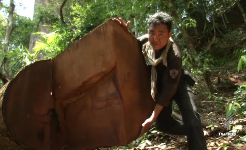 เปิดเส้นทางลักลอบตัดค้าไม้กลางป่า 3 จังหวัดใต้