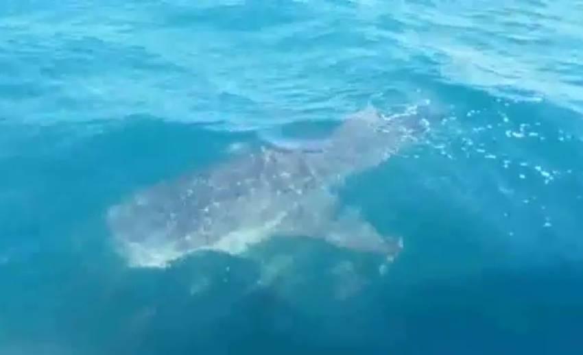 เตือนแล่นเรือระวังทำอันตรายต่อฝูงฉลามวาฬ จ.กระบี่