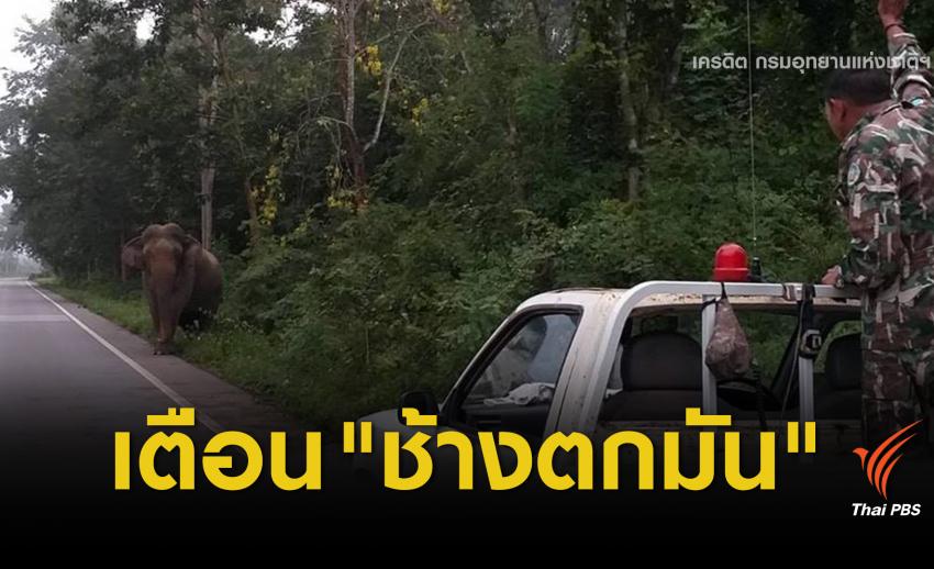 """เตือน """"เจ้างวงโต"""" ช้างป่าตกมันหากินบนถนนห้วยสัตว์ใหญ่"""