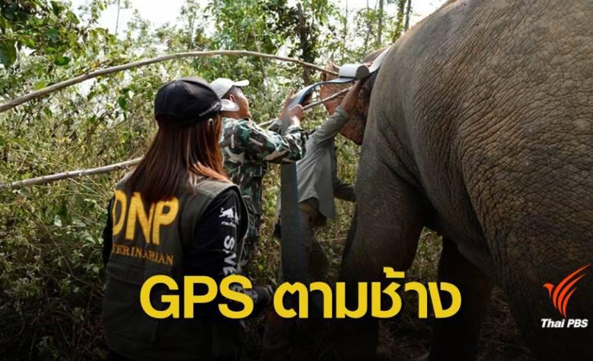 """ครั้งแรกของไทย! ติดปลอกคอจีพีเอส """"ช้างป่า"""""""