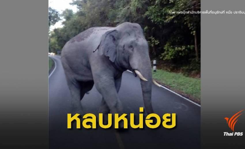 """เตือนนักท่องเที่ยวระวัง """"ช้างป่าเขาใหญ่""""ตกมัน"""