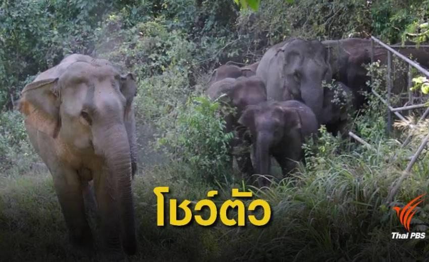 ประทับใจ โขลงช้างเขาใหญ่เดินโชว์นักท่องเที่ยวใกล้ชิด