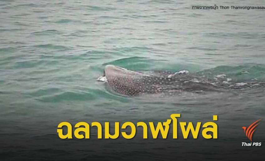 """""""ฉลามวาฬ"""" โผล่ทะเลระยองใกล้นิคมมาบตาพุด"""