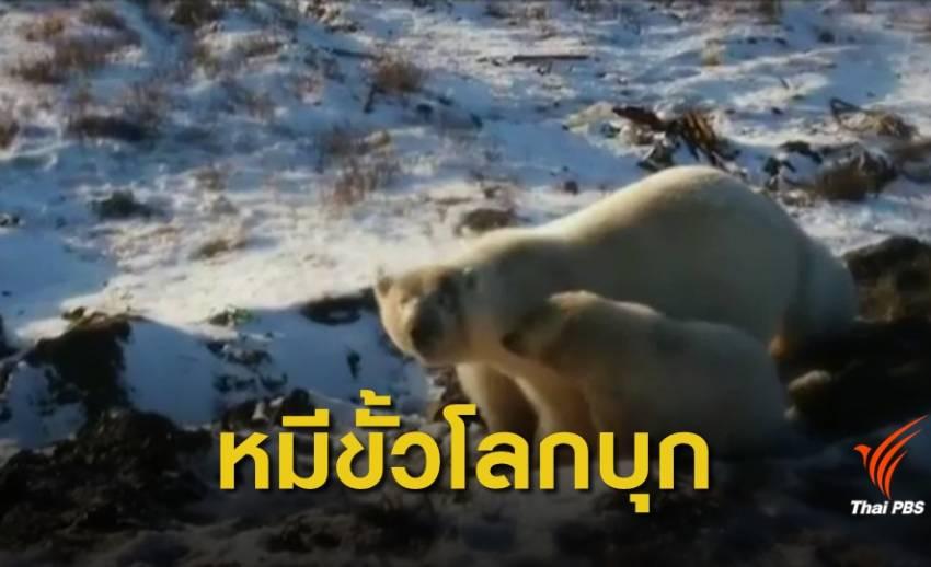 """วิกฤตโลกร้อน! รัสเซียประกาศภาวะฉุกเฉิน """"หมีขั้วโลก"""" บุกเมือง"""