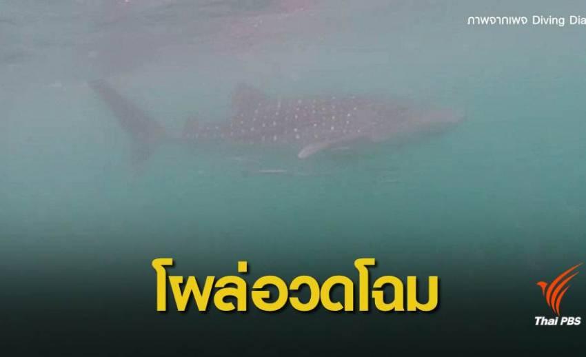 ตื่นตา! พบฉลามวาฬ 4 ตัวแหวกว่ายหากินที่เกาะทะลุ