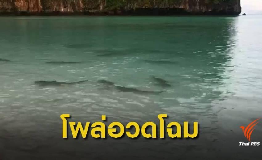 """ฮือฮา! """"ฝูงฉลามหูดำ"""" โผล่หน้าอ่าวมาหยาหลังปิดเกาะฟื้นฟู"""
