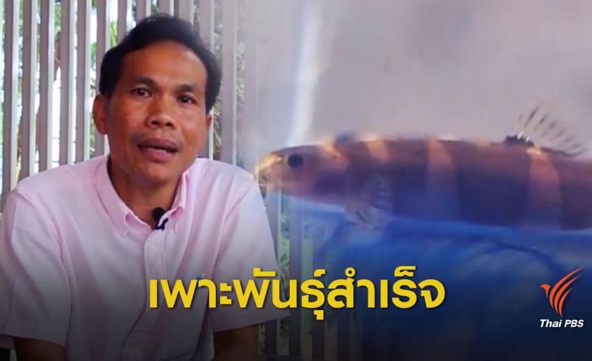 """12 ปี เพาะพันธุ์ปลา """"ปล้องทองปรีดี"""" ปลาดอยสำเร็จ"""