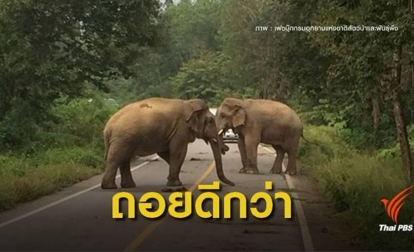 """หาดูยากศึก """"ช้างชนช้าง"""" กลางป่าแก่งกระจาน"""