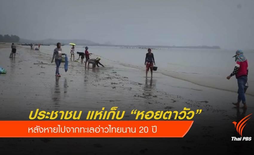 """กลับมาแล้ว """"หอยตาวัว"""" หลังหายจากทะเลอ่าวไทยนาน 20 ปี"""