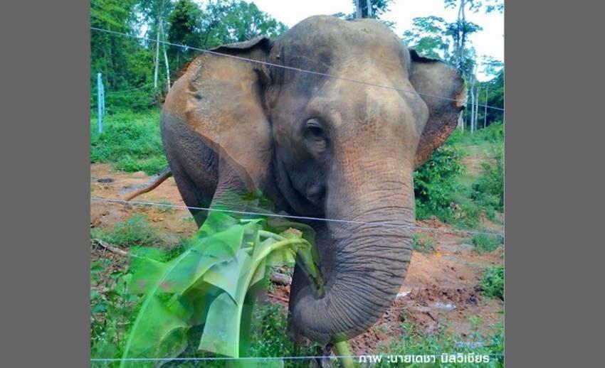 """อัพเดทความสุขของ """"เจ้าแก้ว"""" ช้างป่าอินดี้ที่เขาตะกรุบ"""