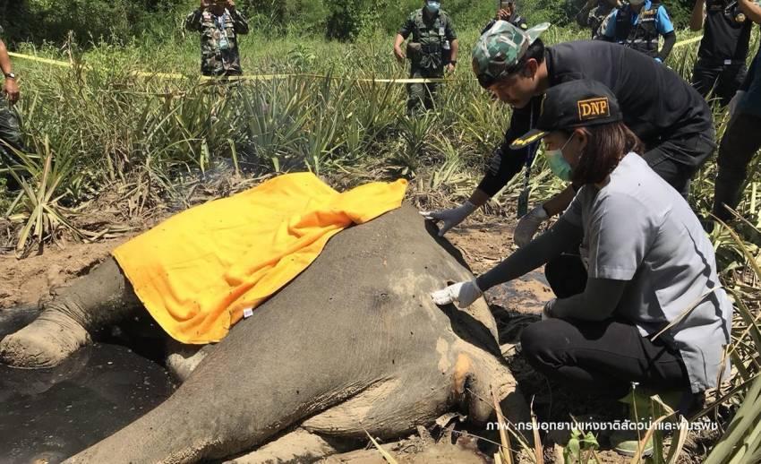 """ชันสูตรซาก """"ช้างกุยบุรี"""" ไม่พบโลหะในตัว-คาดต่อสู้กันตาย"""