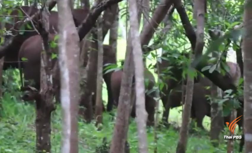 เสนอผู้ว่าฯ กาญจนบุรี ประกาศภัยพิบัติช้างป่า อ.ทองผาภูมิ