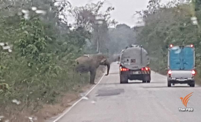 จนท.คาดว่าใช้เวลา 4 วันค้นหาช้างป่าเขาอ่างฤาไนถูกรถชนบาดเจ็บ