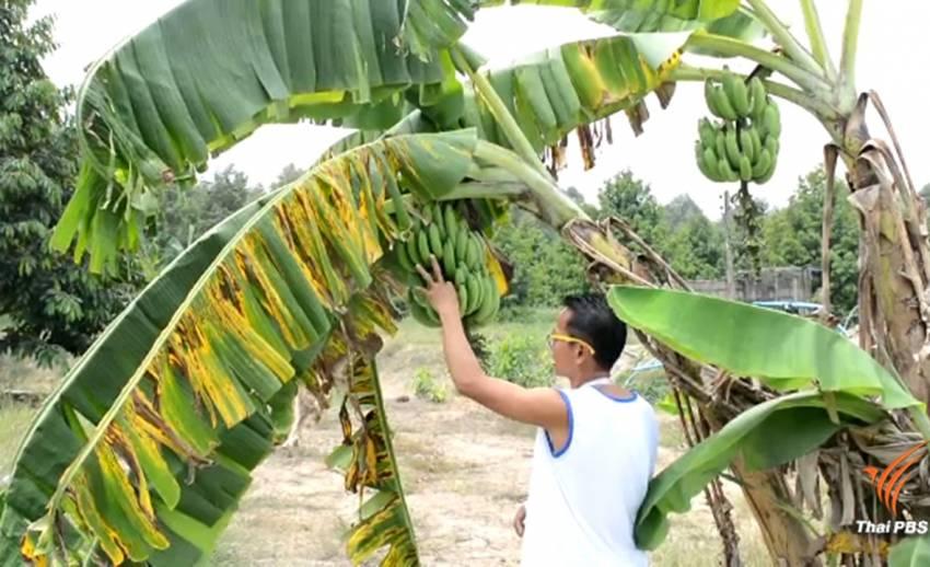 ชาวสวนผลไม้จันทบุรีติด GPS เครือกล้วยแกะรอยขโมย