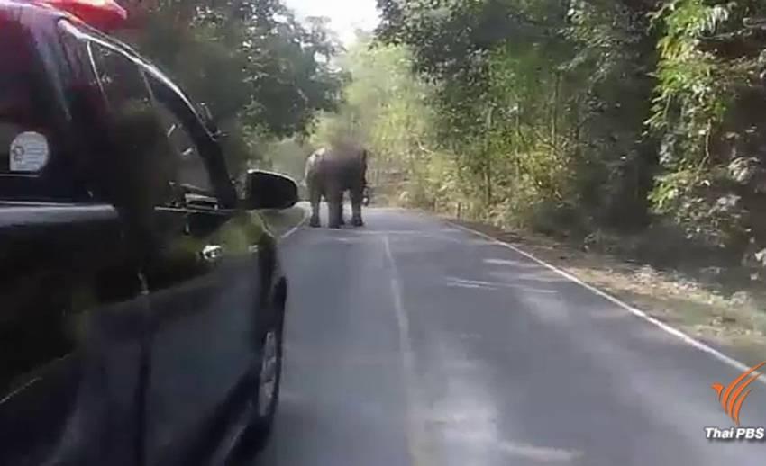เฝ้าระวังช้างป่าเขาใหญ่ตกมันอาละวาดนักท่องเที่ยว