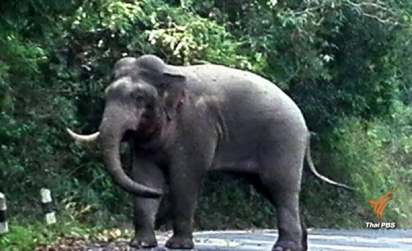 ช้างป่าเขาใหญ่ สู้กันกลางถนนจนงาหัก