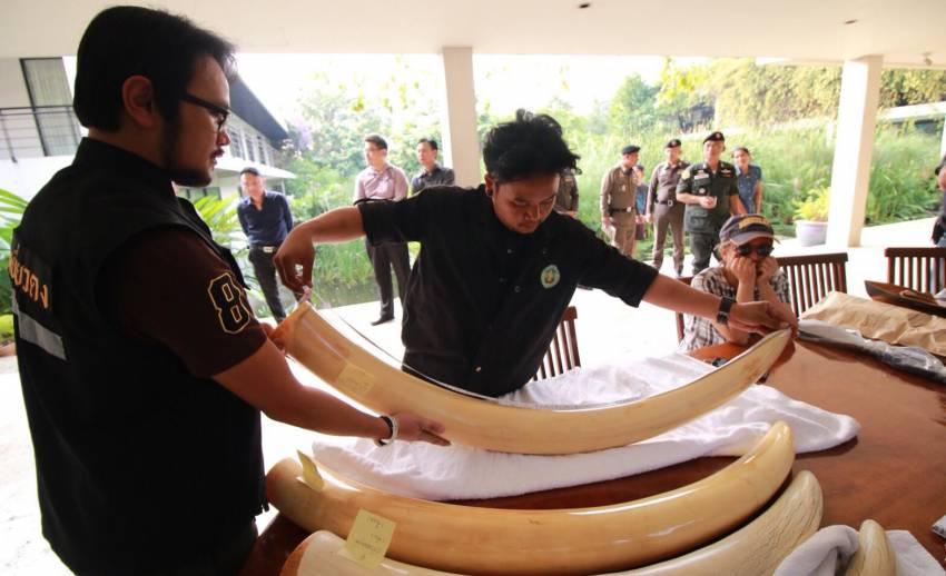ปสท.ให้ทีมนิติฯสัตว์ป่าเก็บตัวอย่างงาช้าง2 คู่พิสูจน์ DNA