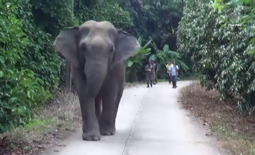จนท.ผลักดันช้างป่าสีดอแก้วขึ้นเขาหลังกลับมาหากินที่จันทบุรี