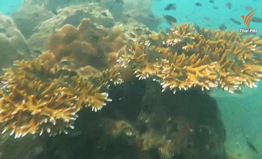 พบแหล่งปะการังสมบูรณ์ที่หาดวนกร จ.ประจวบคีรีขันธ์