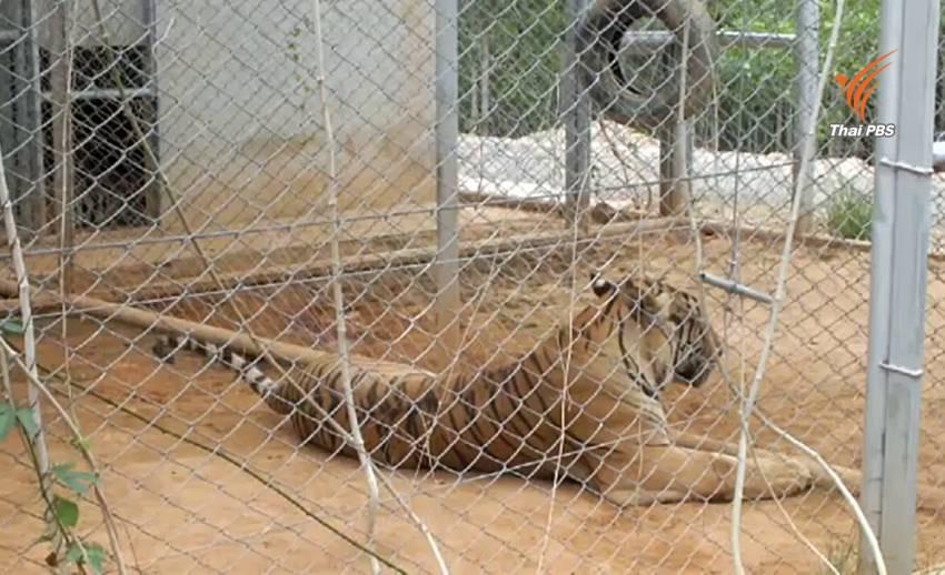 กรมอุทยานฯ ตรวจเยี่ยมเสือของกลางจากวัดป่าหลวงตาบัวฯ พบตาย 1 ตัว