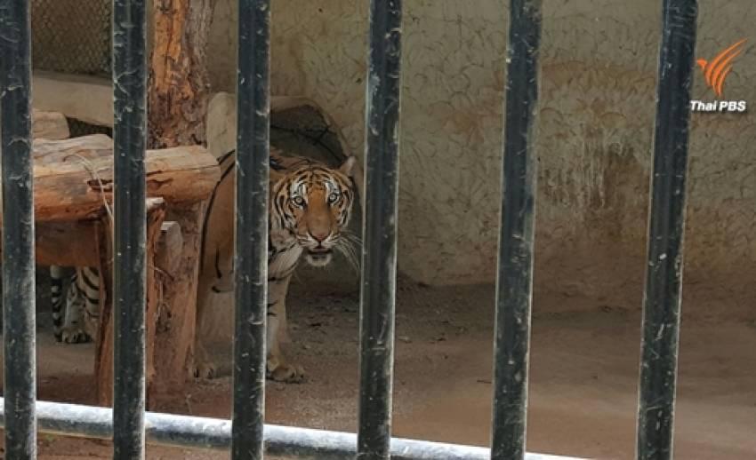 มูลนิธิเพื่อนสัตว์ป่าจี้รัฐเร่งดำเนินคดี ขบวนการค้าเสือวัดป่าหลวงตาบัว